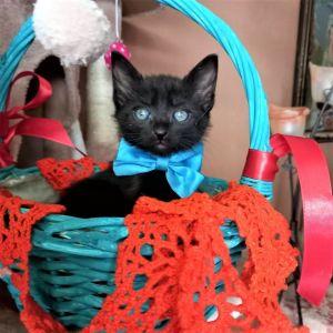 Χαρίζεται μαύρο γατάκι, ο Ρόμεο, 2 μηνών, χαδιάρικο, παιχνιδιάρικο, αποπαρασιτωμένο