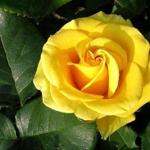 50 Σποροι Κιτρινο Τριανταφυλλο