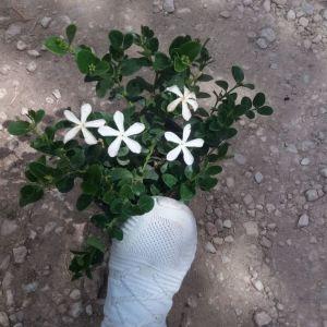Φυτά ( καρισα )