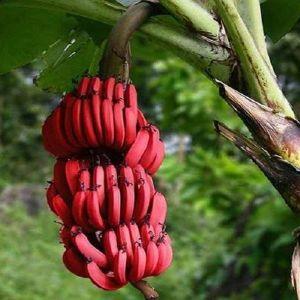 20 Σποροι Κοκκινη Μπανανα