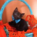 Χαρίζεται μαύρο γατάκι, ο Τσάρλυ