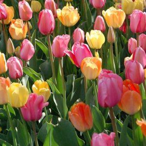 25 Σποροι  Φυτο Τουλιπα Μιξη Χρωματων