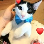 Χαρίζεται γατάκι tuxedo εμβολιασμένο