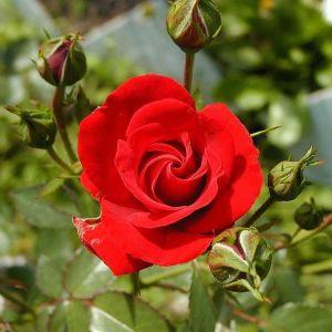 50 Σποροι Κοκκινο Τριανταφυλλο