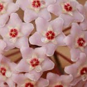 25 Σποροι Φυτου Κερακι - Χογια - Μιξη