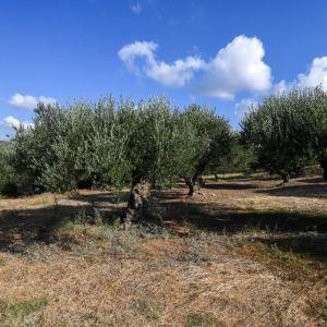 Πωλείται οικόπεδο 1552 τ.μ. με ελαιόδεντρα μη ποτιστικά, περιοχή Πίκα , Κάτω Δολιανά.