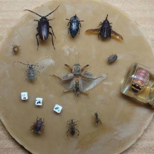 συλλογή εντόμων