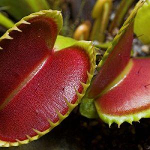 10 Σποροι Σαρκοφαγου Φυτου Διωναια