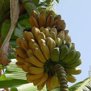10 Σποροι Γιγαντιας Μπανανας Saba