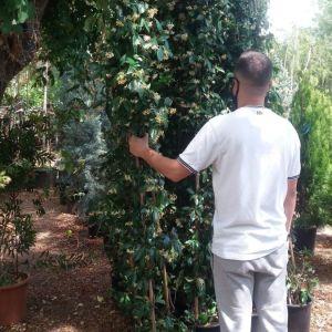 Φυτά ( ρυγχοσπερμο )