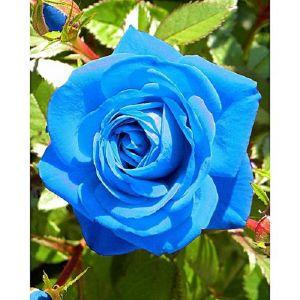 50 Σποροι Μπλε Τριανταφυλλο
