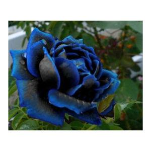 50 Σποροι Βαθυ Μπλε Τριανταφυλλο