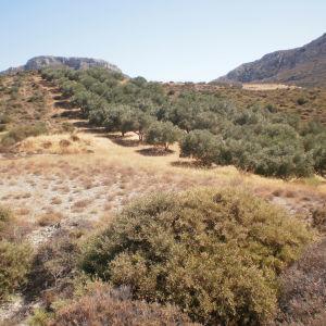 """Οικοδομήσιμο Αγροτεμάχιο 7.835τμ, θέση """"Ετιά"""" Σητείας με ελαιώνα 98 δέντρων"""