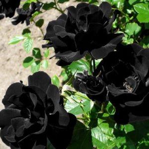 50 Σποροι Μαυρο Τριανταφυλλο