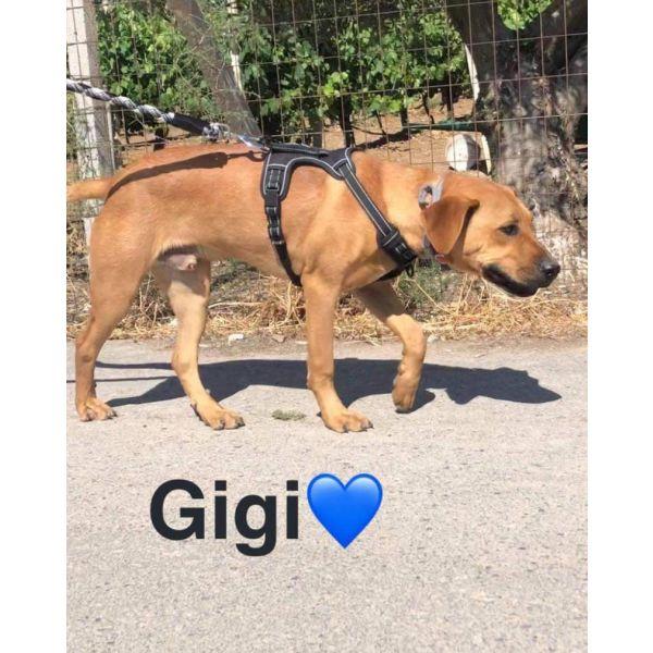 Gigi - rhodesian ridgeback imiemo