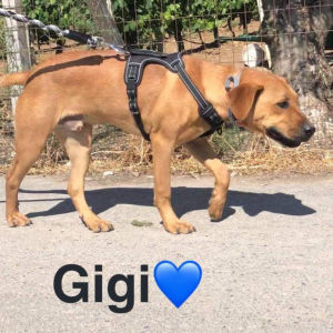Gigi - rhodesian ridgeback ημίαιμο
