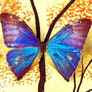 Συλλογη Πεταλουδες Βαλσαμωμενες σε καδρο του 1973