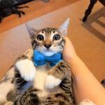 Χαρίζεται γκρι-τιγρέ γατάκι εμβολιασμένο