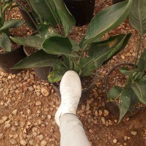 Φυτα ( στερλιτσια )