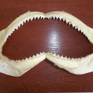 Δοντια λευκου καρχαρια
