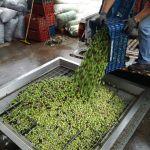 ΕΞΤΡΑ παρθένο ελαιόλαδο Αγουρέλαιο με πιστοποιητικό