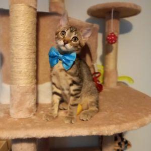 Χαρίζεται τιγρέ γκρι γατάκι ο Πάρης 2 μηνών