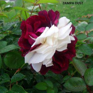 50 Σποροι Τριανταφυλλο Zampa Dust
