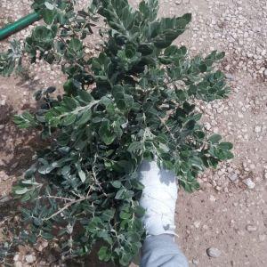 Φυτά (   μετροσιδερος )