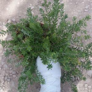 Φυτα ( βεστριτσια )