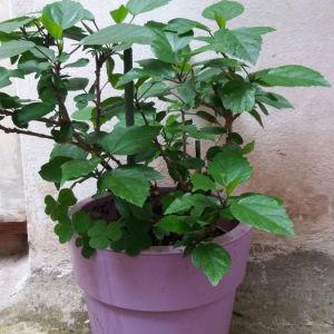 Φυτό γλάστρα