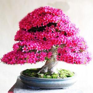 20 Σποροι Ιαπωνικη Αζαλεα Bonsai