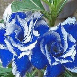 50 Σποροι Τριανταφυλλο - Blue Dragon