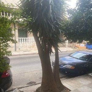 Yuko δένδρο 3 μέτρα
