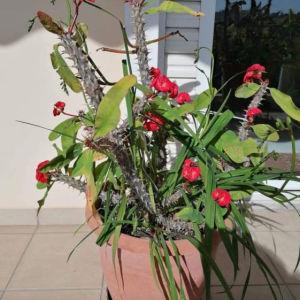 Αγκαθι του Χριστού(Euphorbia milli)με εντυπωσιακή ανθοφόρια και διπλό ανθος